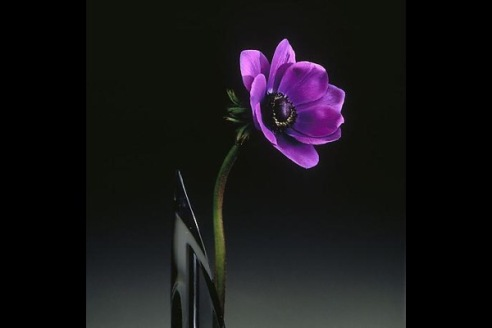 From Flowers, by Robert Mapplethorpe